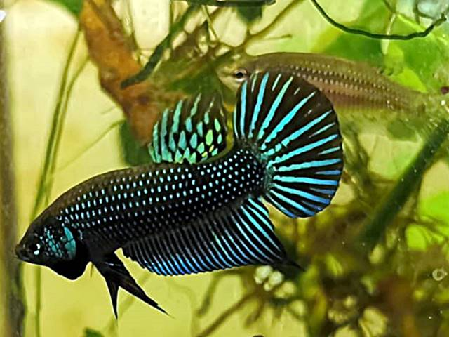 Betta Mahachaiensis, Betta Mahachai, Wildform, Wildbetta